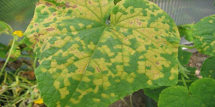 Почему желтеют листья у огурцов? Разбираемся, что делать с желтеющими листьями?