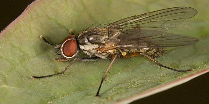 Как бороться с луковой мухой на грядке и в таблице
