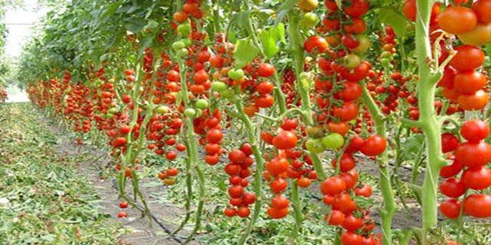 Как пасынковать помидоры – в теплице, в открытом грунте, фото и видео