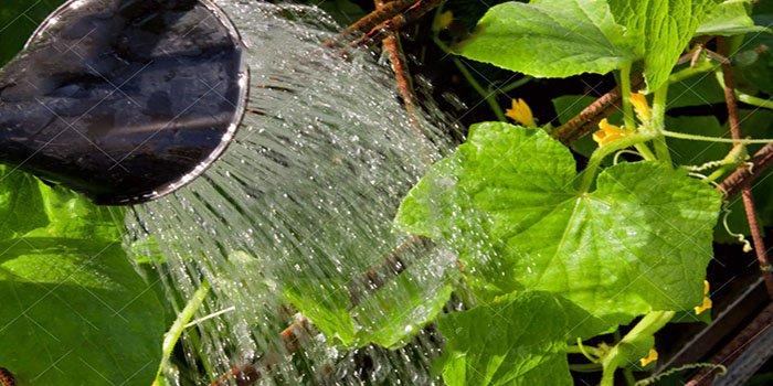 Как правильно поливать огурцы – в теплице и открытом грунте, фото, видео