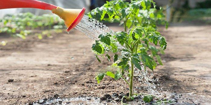 Правильный полив помидор – в теплице и грунте. Фото и видео полива помидоров