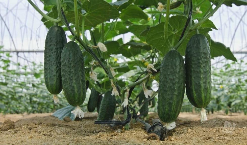 Как борная кислота может увеличить урожай огурцов в 2 раза