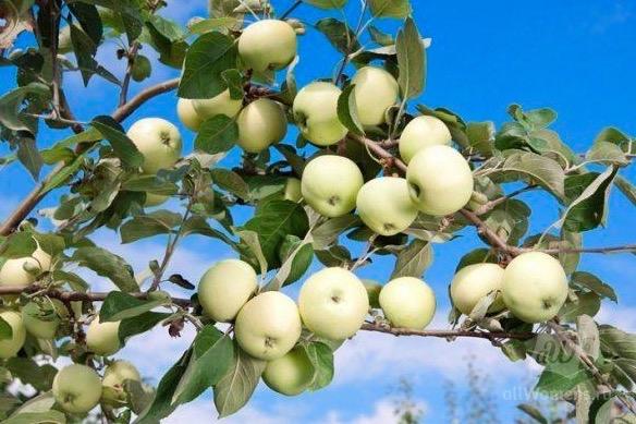 Налив яблок, чем подкормить дерево, чтобы плоды стали слаще, вкуснее и, главное, не опали